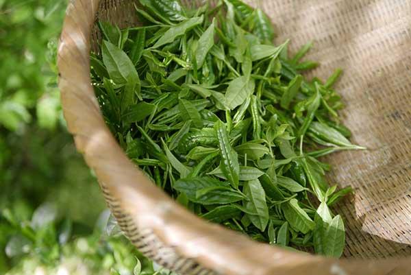 El te verde es uno de los mejores remedios caseros para las espinillas